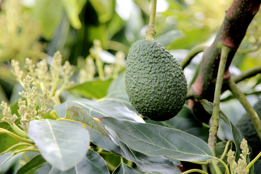 The Benefits of Avocado Oil for Skin